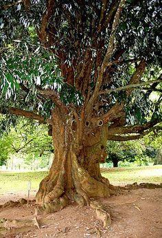 Железное дерево – украшение осени - железное дерево, парротия