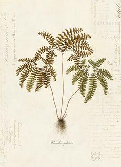 Vintage Botanical Fern Plant on French Ephemera