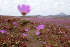 """landscape-photo-graphy: """" One of the Driest Deserts on Earth Blooms with Life and Color The Atacama Desert in Chile is known as one of the driest and most barren places on Earth. Desert Flowers, Pink Flowers, Champs, Mallow Flower, Chili, Deserts Of The World, Dry Desert, Landscape Photos, Viajes"""