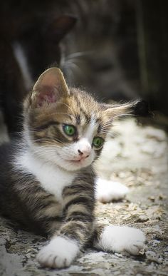 Tabby Kitten Click the Photo For More Adorable and Cute Cat Videos and Photos Cute Kittens, Kittens And Puppies, Ragdoll Kittens, Tabby Cats, Bengal Cats, Kittens Playing, Animals And Pets, Baby Animals, Funny Animals