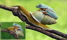 Lazy frog hitches a ride on the back of a snail