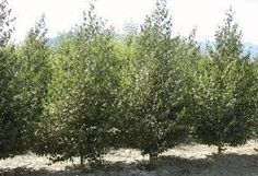 Image result for sutherland caragana Small Trees For Garden, Garden Trees, Plants, Image, Outdoor, Outdoors, Plant, Outdoor Games, The Great Outdoors