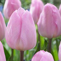 Tulip Jordan - Parkers Wholesale