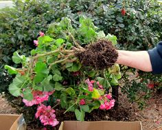 Wintering geraniums: Take plant out of DRY soil.only leave small amount of soil around root ball. Plants, Planting Flowers, Geraniums, Geranium Plant, Garden Plants, Outdoor And Landscape, Outdoor Gardens, Pinterest Garden, Creative Gardening