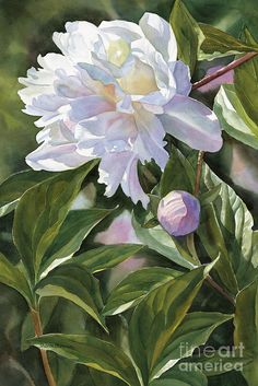 White Peony With Bud by Sharon Freeman. Watercolor.