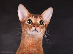 Abyssinian Cat.  Hope he isn't looking at my Bird!