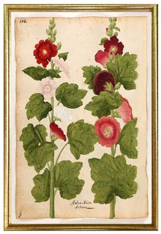 Vintage botanical prints, antique flower art prints with stunning colors and framed in gold/silver leaf wood frames, period to the piece. Unframed or framed traditional wall art, made in USA. Vintage Posters, Vintage Art, Shed Decor, Vintage Botanical Prints, Fine Paper, Hollyhock, Unique Wall Art, Botanical Illustration, Wall Art Prints