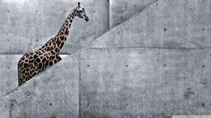 giraffe_climbing_stairs-wallpaper-1920x1080