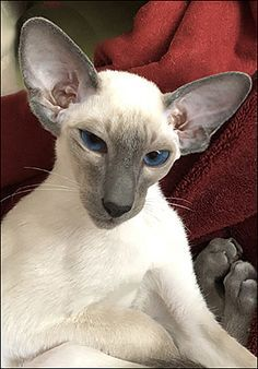Pin On Siamese And Orientals