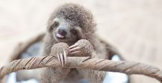 Monster the Sloth in a basket. Welcome to The Sloth Institute, the protector of wayward baby sloths.