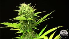 Moby Dick XXL Feminized and #Autoflowering #marijuana strain by #Dinafem Seeds. #Weed #seeds.