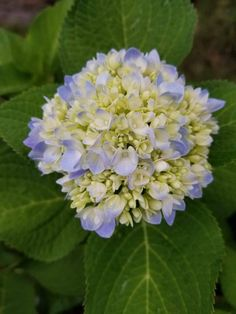 Easy care for beautiful hydrangeas, Changing the color of hydrangeas, big round with blossom with blue edges and green leaves Hydrangea Care, Pink Hydrangea, Hydrangeas, Small Front Yard Landscaping, Tall Plants, Growing Flowers, Green Leaves, Gardening Tips, Perennials