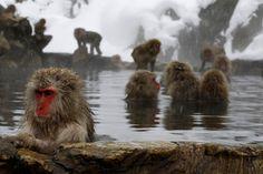 Jigokudani Monkey Park in Nagano, Japan