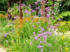 Verbena bonariensis - Mauve ; Hidcote Manor Garden (Chipping Campden, England)
