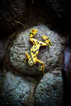 Panamanian Golden Frog (Atelopus zeteki) (by Jonathan H. Lee)