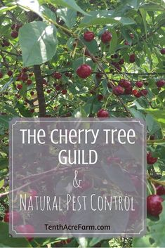 Cherry trees are a good choice for home fruit production, but pests can sometimes be a problem. Here's how we planted our cherry trees using a permaculture guild - a combination of plants that works together to produce more healthy cherries. Forest Garden, Garden Trees, Fruit Tree Garden, Planting Cherry Trees, Tree Planting, Fruit Plants, Growing Fruit Trees, Baumgarten, Tree Care