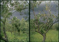 Beautiful olive trees by JoAnn Verburg