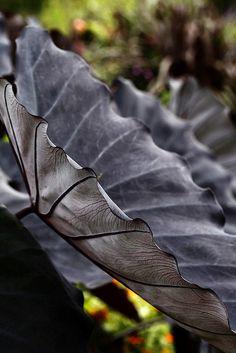 ~~Colocasia Esculenta. Black Magic ~ exotic and adds drama to a garden by Todd Pinter~~
