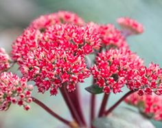 154 best plants for pollinators images on pinterest bee happy pink tipped greenish white buds form in clusters on red stems and open to small deep reddish pink flowers which darken with age to a rich red from late mightylinksfo
