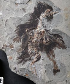 New research has found evidence of original keratin and melanosome preservation in a 130-million-year-old Eoconfuciusornis specimen. The work extends the timeframe in which original molecules may preserve, and demonstrates the ability to distinguish between ancient microstructures in fossils.