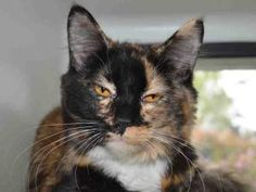 SPICE is an adoptable Domestic Short Hair Cat in Martinez, CA.  ...