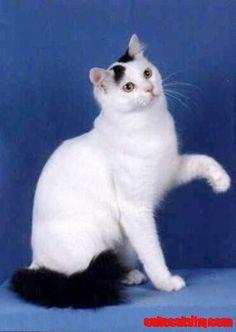 Turkish Van Cat - http://cutecatshq.com/cats/turkish-van-cat-2/