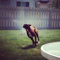 Boxer Dog + sprinkler = true happiness...