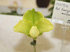 世界らん展日本大賞2008 パフィオペディルム 交配種 Japan Grand Prix International Orchid Festival 2008 Paphiopedilum Hybrids