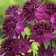 An amazing new burgundy-purple addition to the Astrantia range.Height 50-60cm. Supplied as first grade loose root plants.