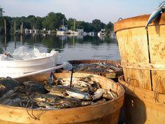 Maryland Blue crab, Chesapeake Bay