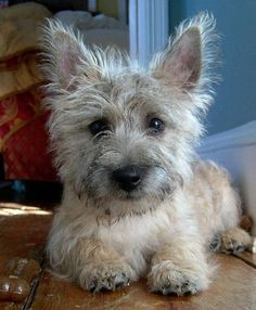 happy, fearless, protective. the Cairn Terrier.