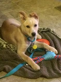 ADOPTED! Harris is a 4 month old neutered male Lab mix that was rescued from a high kill shelter in South Carolina.Super sweet, socialized and ready to play. He will make a great family or companion dog.If interested in meeting Harris, please go to...