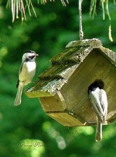 Black-capped Chickadees at home