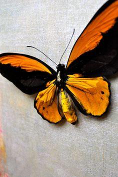 Orange Birdwing Butterfly