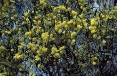 Acacia ausfeldii : Ausfeld's Wattle | Atlas of Living Australia Endangered Plants, Acacia, Australia