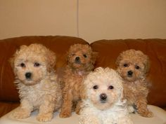 Adorable Toy Poodle Puppies - 7 weeks