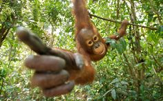 A playful orangutan  in the rainforests of Tanjung Puting National Park on the island of Borneo, Indonesia