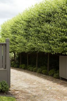 Driveway: pleached ficus tuffi with hydrangea and star jasmine underneath, with low hedge at front