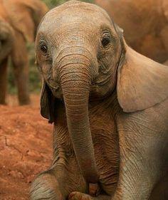"Such an adorable baby Elephant"" - Elefanten - Animals Cute Creatures, Beautiful Creatures, Animals Beautiful, Cute Baby Animals, Animals And Pets, Funny Animals, Wild Animals, Elephas Maximus, Photo Animaliere"