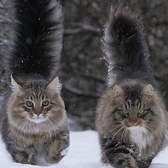"""""""Norwegian forest cats, male and female ✨❄️❄️❄️✨"""