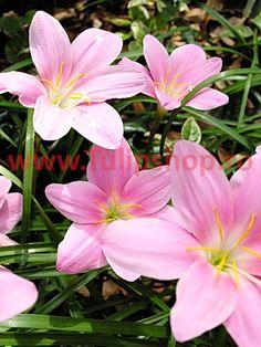 Bulbi Zephyranthes Rosea