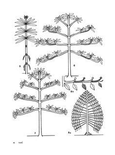 francis hallé dessins botaniques