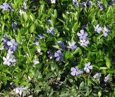 pikkutalvio maanpeittokasvi kukkii koko kesän