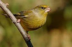 Image result for british finches