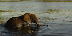 Chobe Elephant - An elephant bathing in the Chobe river in Chobe National Park
