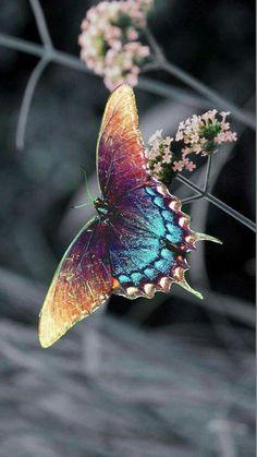 # Mariposa azul. Belleza voladora #butterflies