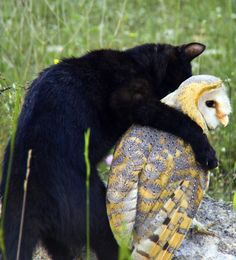 Fum (the black housecat) & Gebra (the barn owl) are best friends.  Don't see this every day......