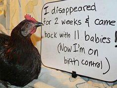 Chicken shaming--so funny!
