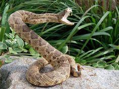 Rattle Snake Fangs Illustration Research Pinterest