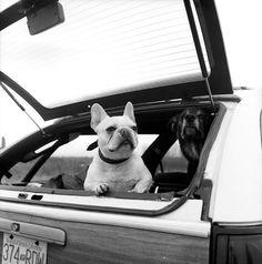 french bulldog beach bum